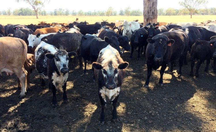 Not a pedigree herd