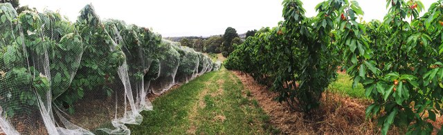 When the cherries are almost ripe they are netted to stop bird attacks
