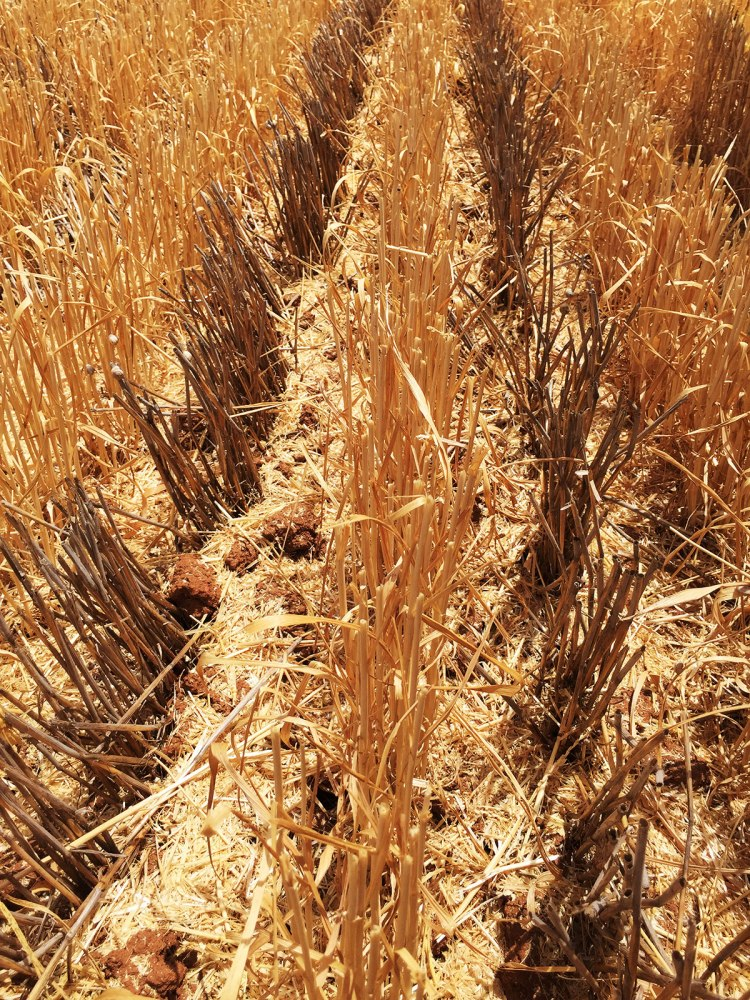 Wheat after wheat is inter-row seeded. I just liked this photo