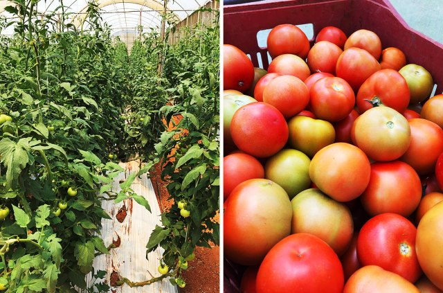 These tomatoes are ready to harvest 10 weeks after planting
