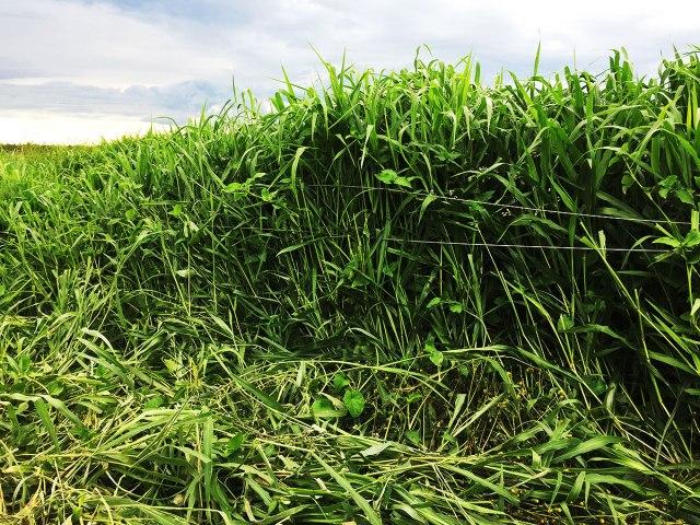 A two month old catch crop of Brachiaria grass